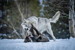 Картинка Волк Две Снега Драка животное