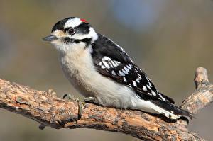 Картинки Дятлы Птицы Ветвь downy woodpecker