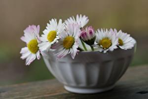Обои для рабочего стола Маргаритка Размытый фон Миска цветок