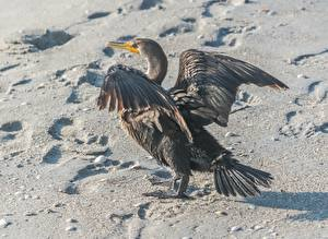 Обои для рабочего стола Птицы Песка Следы Cormorant Животные