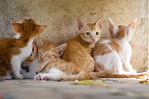Обои для рабочего стола Коты Котенок Рыжий Смотрят животное