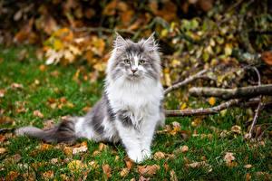 Фотография Кошки Сидит Смотрят Боке
