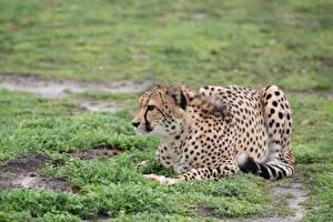 Картинка Гепард Траве Лежачие животное