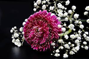 Фото Хризантемы Вблизи Красная Цветы