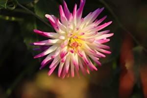 Фотографии Крупным планом Георгины Боке Розовые цветок