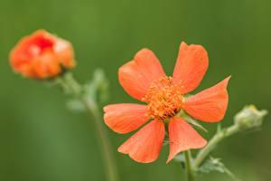 Обои Крупным планом Боке Красных Geum, avens цветок