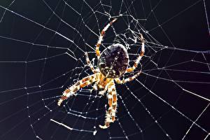 Фото Крупным планом Пауки Насекомые Паутиной Spider-crossman животное