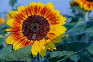 Фотография Вблизи Подсолнечник Насекомые Пчелы Цветы