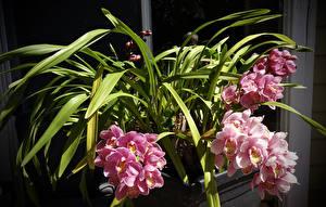 Фото Орхидеи Розовая Цветы
