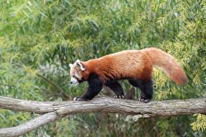 Фотографии Бамбуковый медведь Ветвь Сбоку Red Panda животное