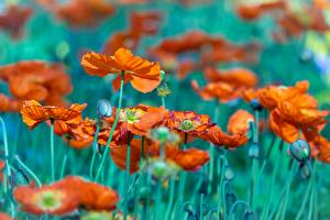 Картинки Маки Бутон Боке цветок