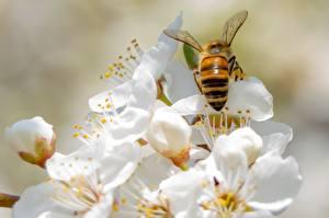 Фотографии Весна Пчелы Насекомое Боке