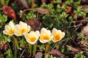 Фото Весенние Крокусы Желтые Трава Размытый фон Цветы