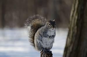 Обои для рабочего стола Белка Боке Смотрит Allen's Squirrel животное