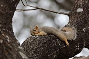 Фото Белки Ствол дерева Лежа животное