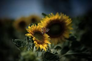 Картинки Подсолнухи Бабочки Боке Желтая Животные