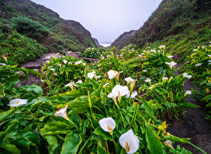 Фото Америка Белокрыльник Берег Калифорния Big Sur Природа Цветы