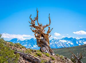 Фотографии США Гора Калифорнии Деревья Bristlecone Pine Forest Природа
