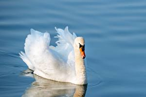 Картинки Воде Птицы Лебедь Белые Плывет Животные