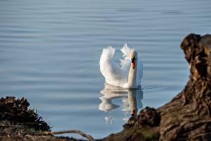Фото Вода Лебеди Птицы Плывут Белых Животные