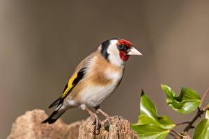 Фотография Птицы Вблизи goldfinch Животные