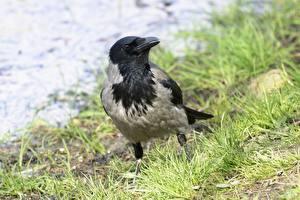 Фотография Птицы Вороны Трава Размытый фон