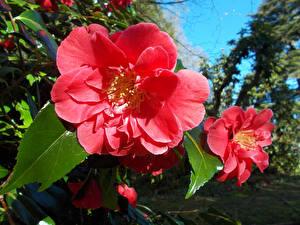Фотография Камелия Вблизи Розовых
