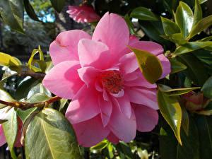 Фото Камелия Вблизи Розовая цветок