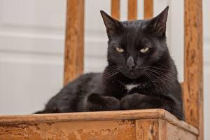 Картинка Кошки Черные Лежат Взгляд Животные