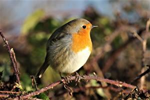 Обои для рабочего стола Вблизи Птицы Боке На ветке European robin животное