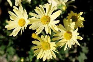 Фотография Вблизи Ромашки Боке Желтый Цветы