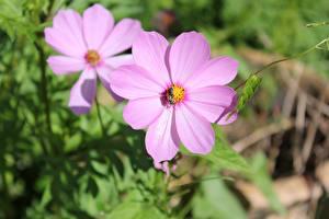 Картинки Крупным планом Космея Боке Розовая Цветы