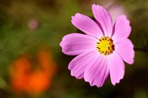 Картинка Вблизи Космея Боке Розовый цветок
