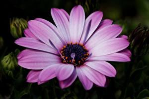 Обои для рабочего стола Крупным планом Фиолетовый Dimorphotheca цветок