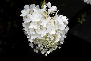 Обои для рабочего стола Вблизи Гортензия Боке Белый Цветы