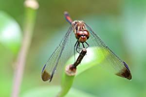 Фото Крупным планом Насекомое Стрекозы Боке Крылья Животные