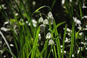 Фотографии Вблизи Трава Белый Leucojum Snowflake Цветы