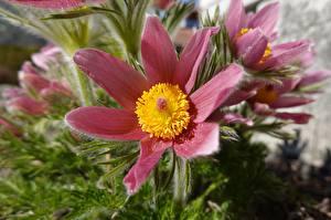 Фото Вблизи Прострел Размытый фон Розовая цветок