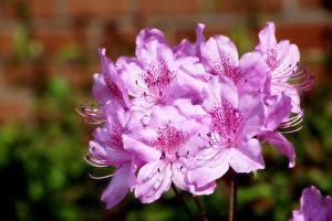 Фото Вблизи Рододендрон Размытый фон Розовая Azalea Цветы