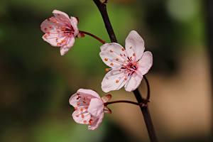 Картинки Крупным планом Сакуры Боке Розовые