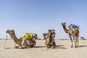 Фото Пустыня Верблюд Трое 3 Лежа Животные