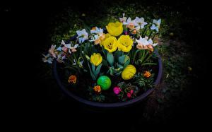 Фото Пасха Тюльпаны Нарциссы На черном фоне Яйцами Цветы