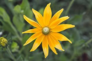 Картинка Эхинацея Вблизи Боке Желтая цветок