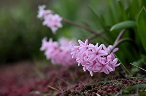 Обои Гиацинты Розовый Размытый фон цветок