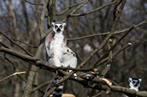 Фотография Лемуры Размытый фон Ветвь Смотрит Животные
