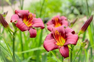 Картинка Лилия Красная Боке Цветы