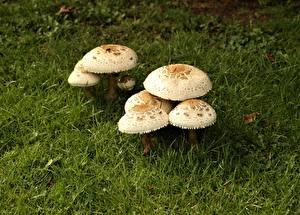Фотография Грибы природа Трава Macrolepiota