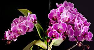 Картинки Орхидеи Вблизи На черном фоне Розовый цветок