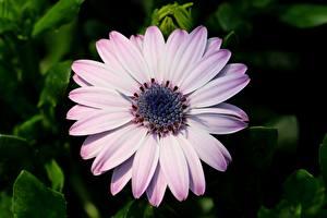 Картинки Остеоспермум Вблизи Боке Цветы