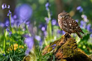 Обои для рабочего стола Сова Птицы Боке little owl животное